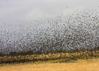 Countless blackbirds flock together during the winter (photo birdscalgary.com)
